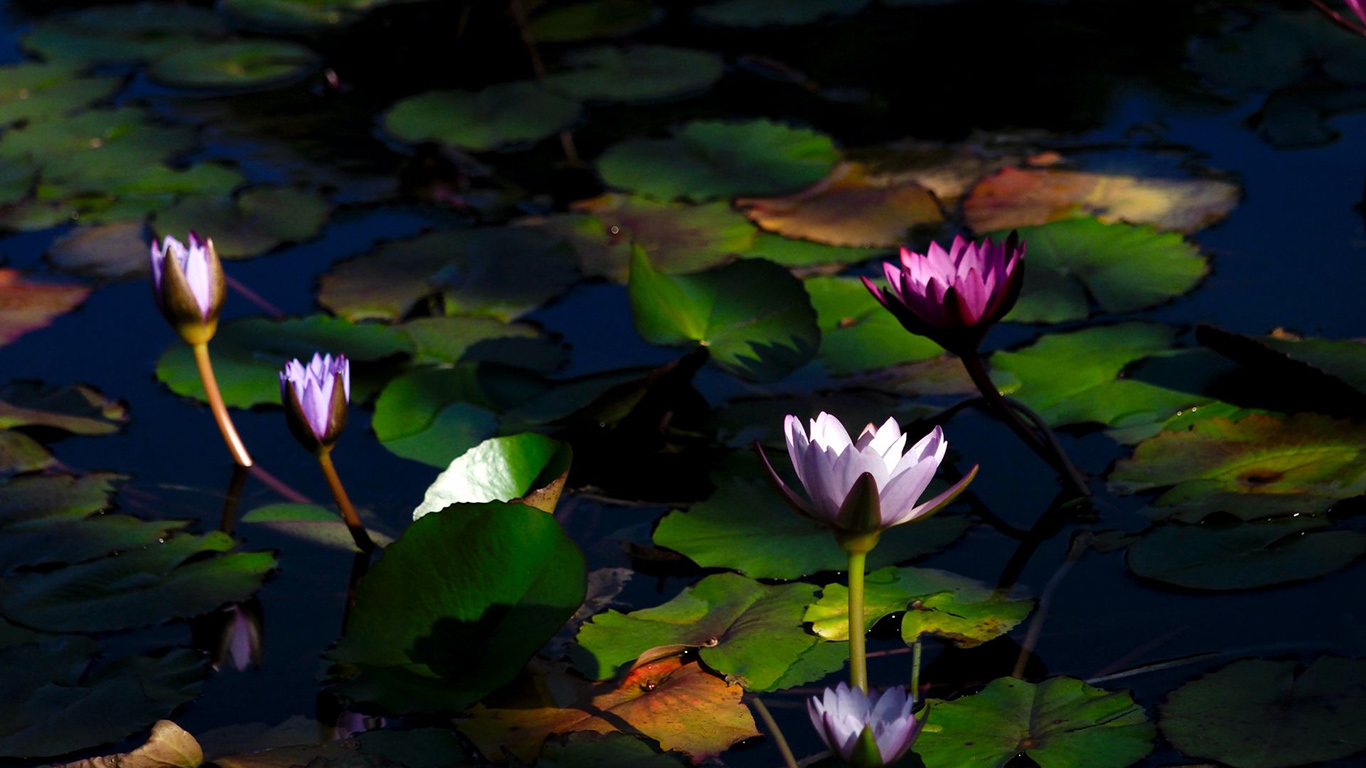 Water, Lilies, Flowers, Plants Wallpapers Free Download