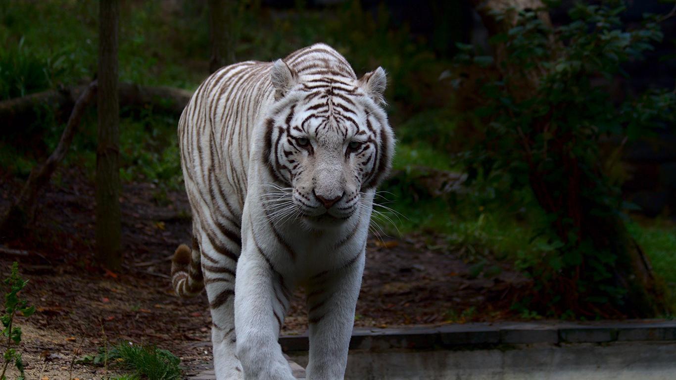 White, Tiger, Predator Wallpapers Download (2)