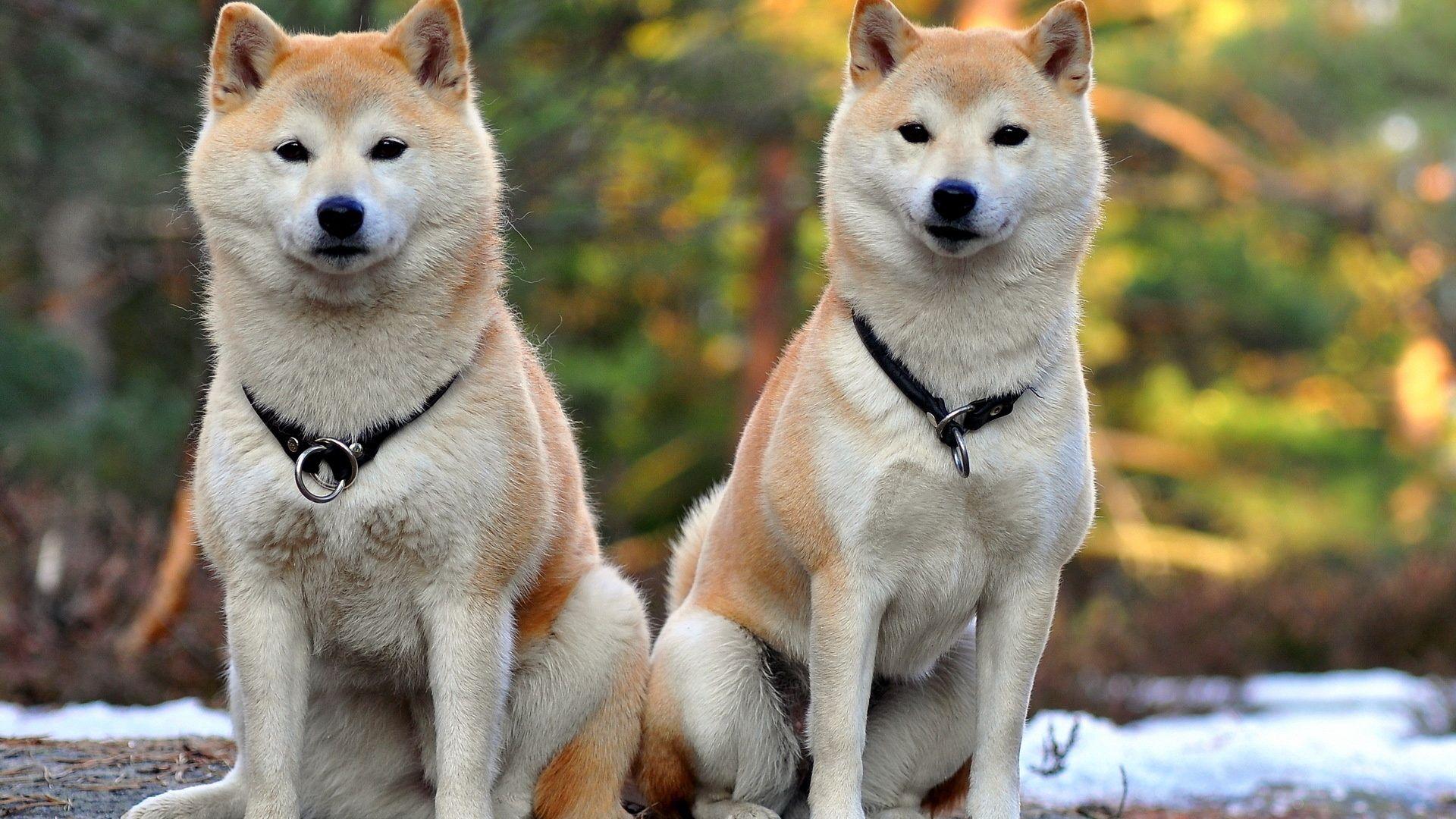 Akita, inu, Dog, Couple, Beautiful Wallpapers Free Download