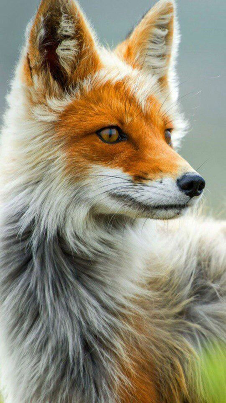 Fox Wallpapers For Phone and iPhone