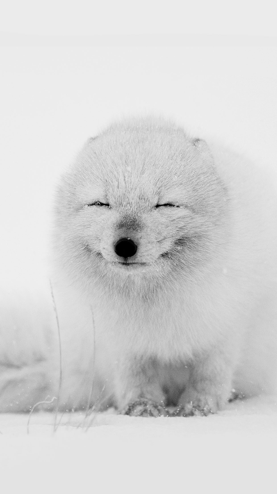 Arctic Fox Cute Snow HD Wallpapers Free Donwload