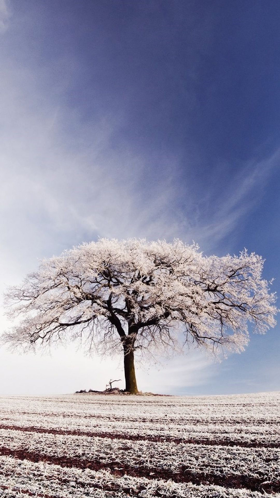 Big Tree Covered In Snow Wallpapers Download