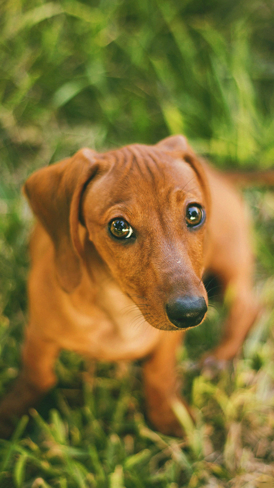 Cute Brown Dog HD Wallpapers Free Download