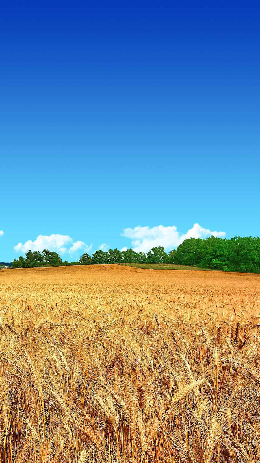 Golden Wheat Field Blue Sky Forest Android Wallpaper