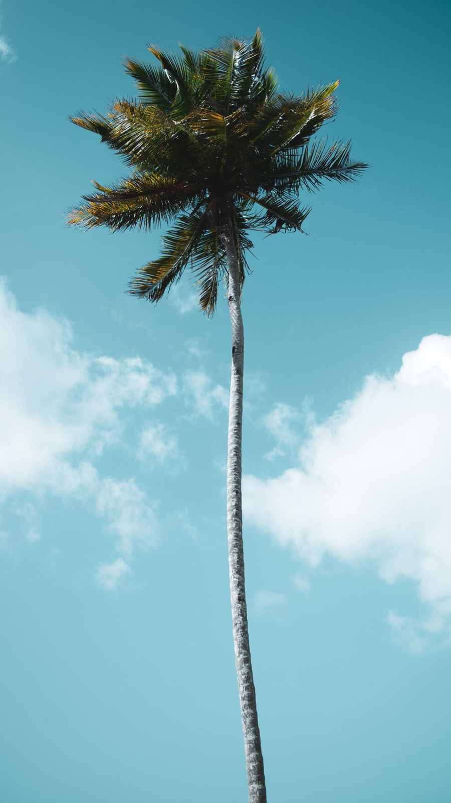 Palm Wallpaper – Trees and Nature Wallpapers Free Download