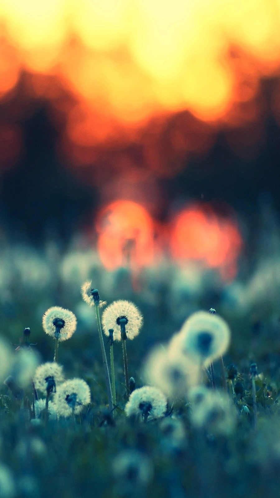 Dandelions In The Sunset Bokeh HD Wallpapers Free Download