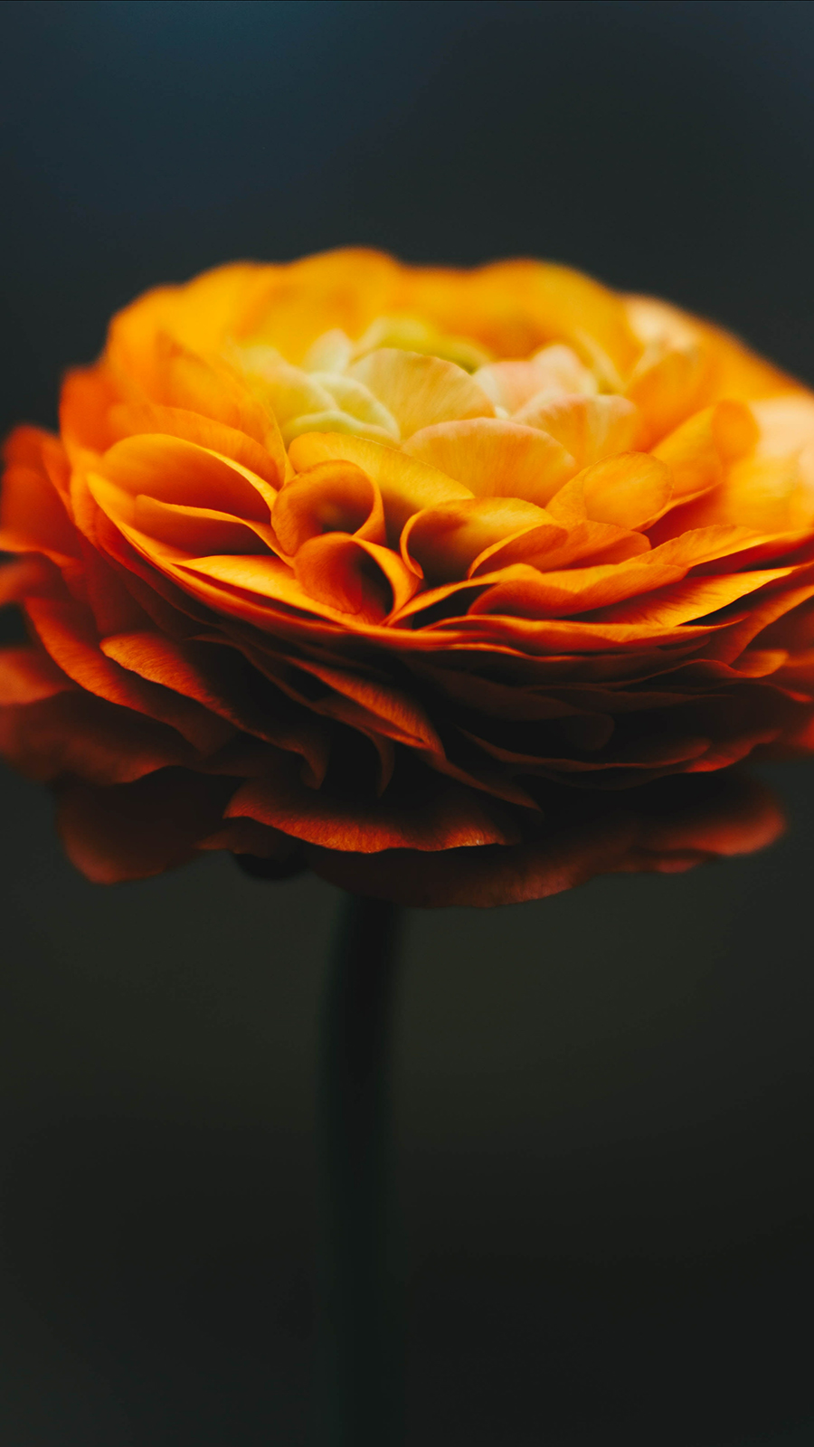 Macro Orange Flower Free Download
