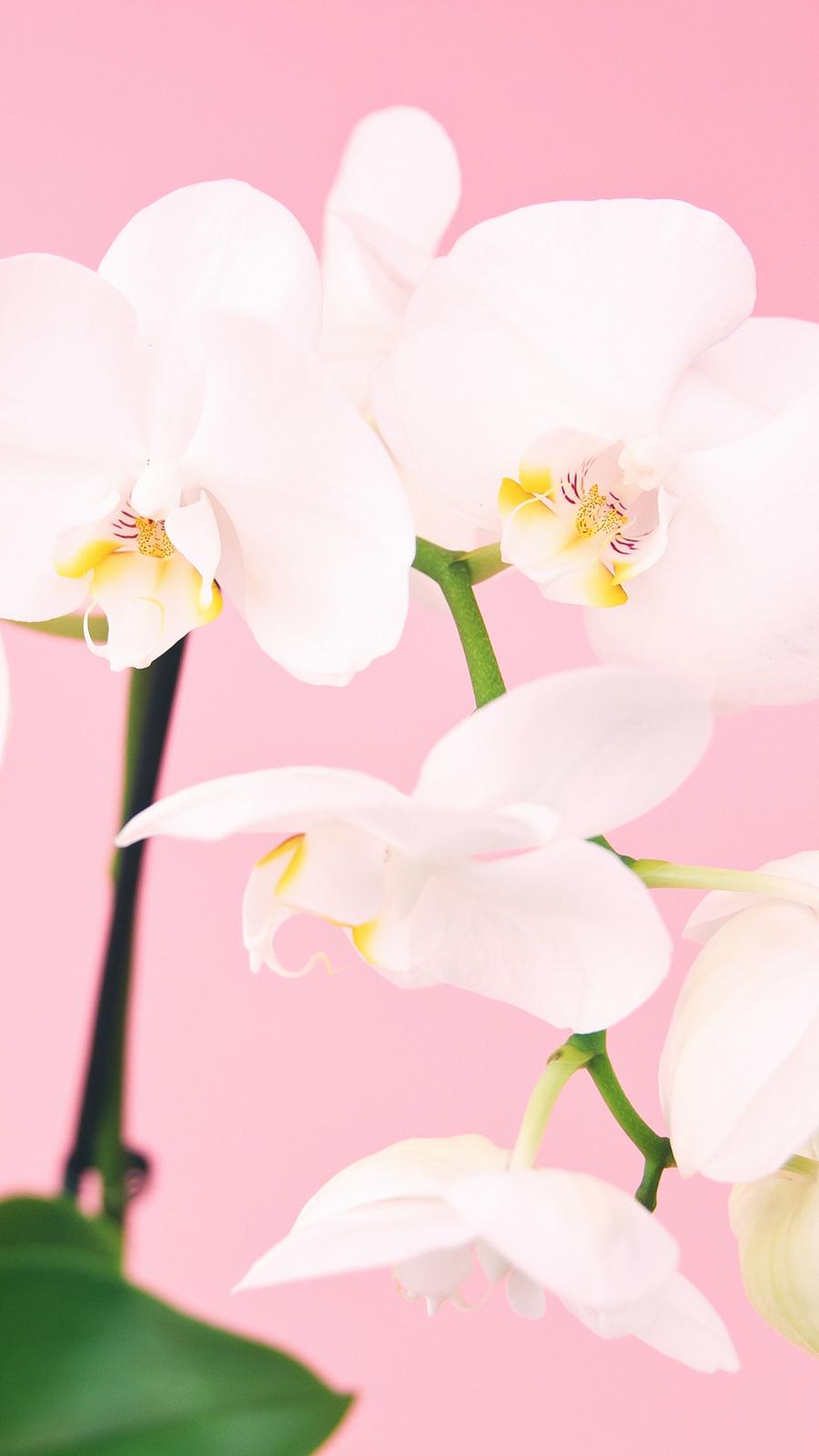 White Flower Wallpapers Free Download Phone & Desktop