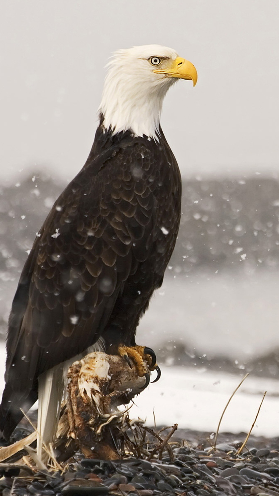 American Bald Eagle HD Wallpapers Free Download