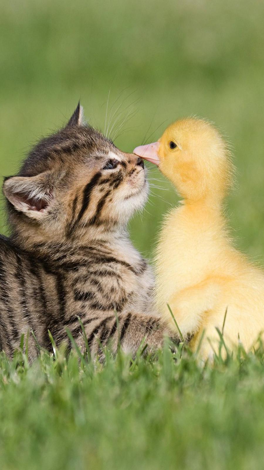 Baby Kitten & Duck Wallpapers Free Download