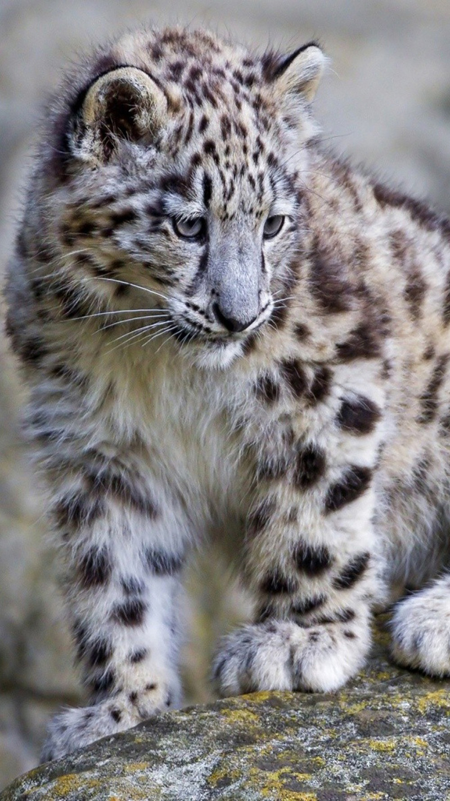Baby White Leopard Wallpapers Free Download