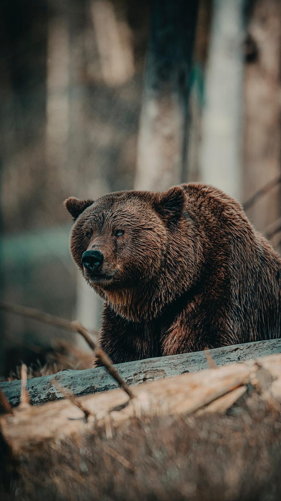 Bear HD Wallpapers Free Download