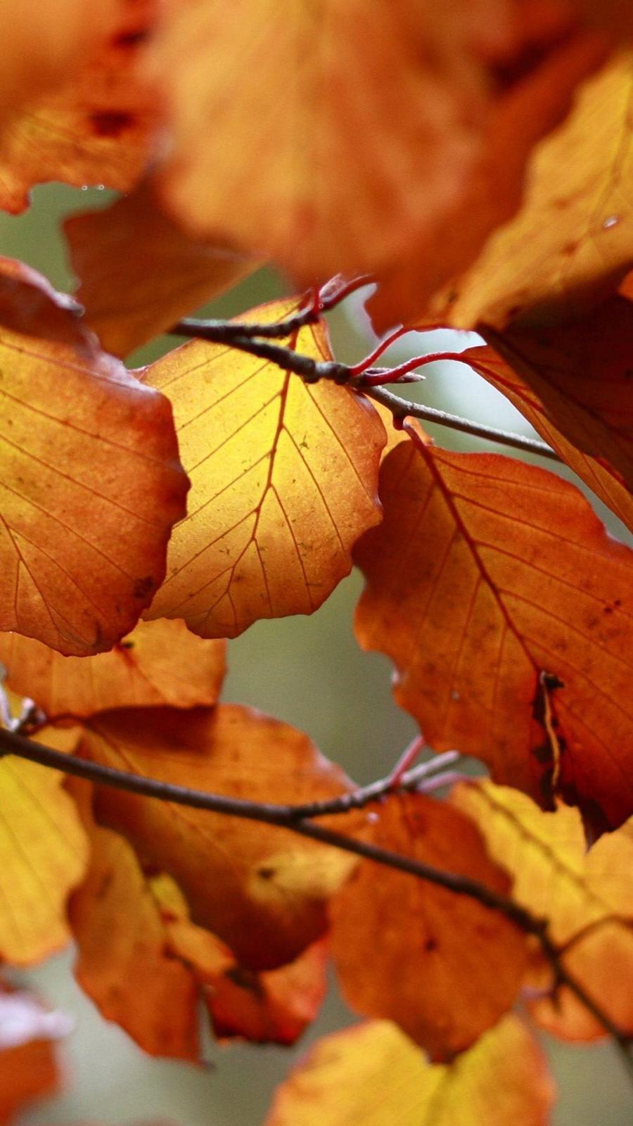 Orange Leaves Macro Wallpapers Free Download