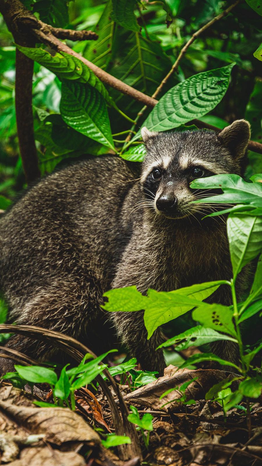 Raccoon 4K Wallpapers Free Download