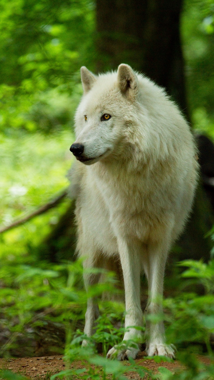 White Wolf Wallpapers Free Download