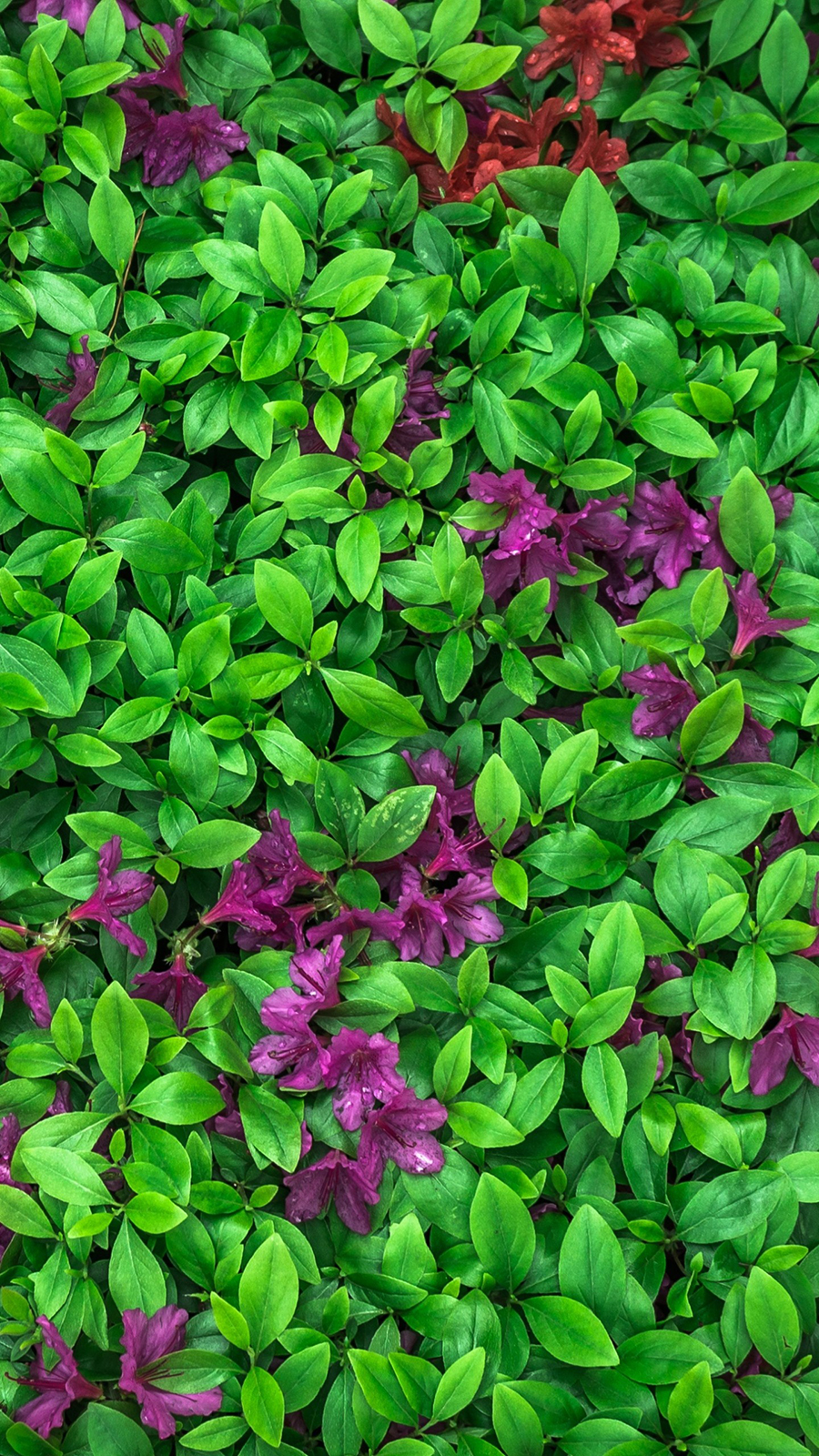 Azalea Leaves Flowers Plant Wallpapers Free Download