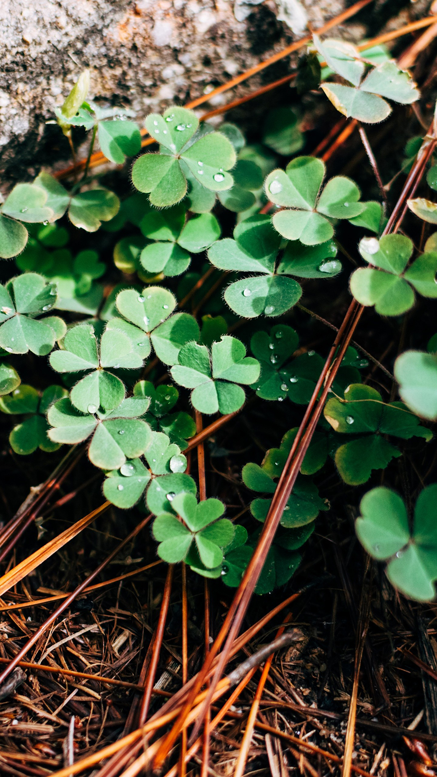 Clover Leaves Branches Wallpapers Free Download