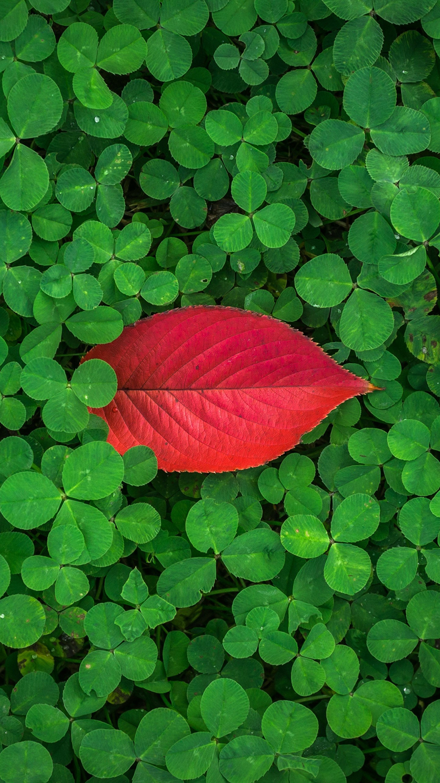 Clover Leaves Plant Green Wallpapers Free Download